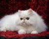 gambar-foto-kucing-persia-lucu