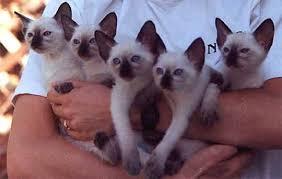 kumpulan-gambar-kucing-siamese