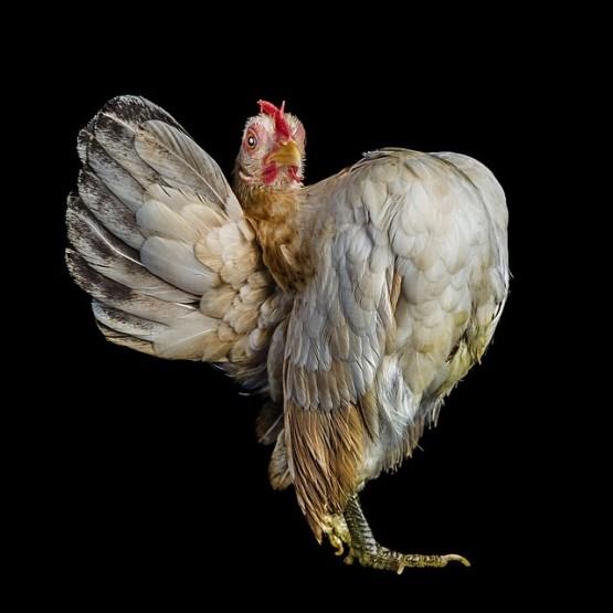 6 Foto Gambar Hewan Lucu Pada Kontes Kecantikan Ayam Gambargambar Co