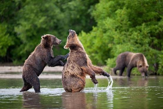 gambar beruang bertindak seperti manusia