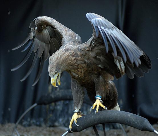 burung elang yang menyeramkan