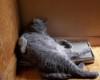 foto kucing lucu anggora hitam tidur
