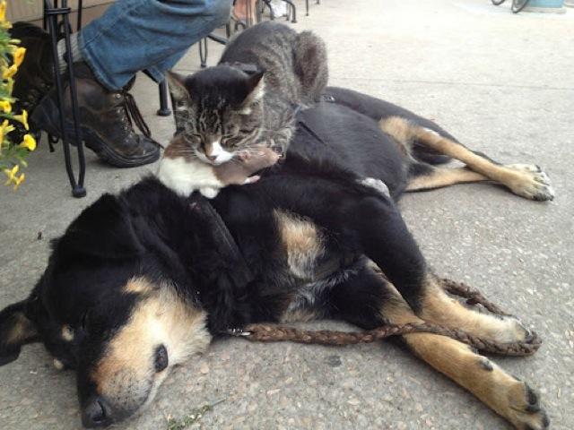 foto kucing lucu tidur diatas anjing