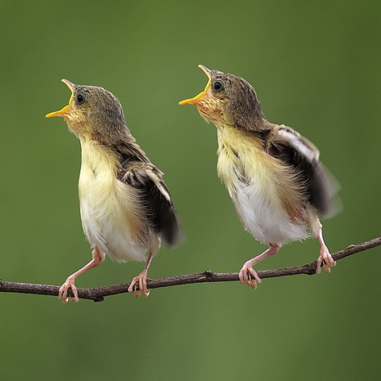gambar dua anak burung yang indah