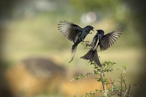 gambar dua burung berpasangan