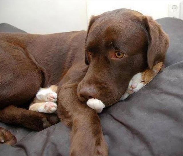 gambar kucing lucu tidur tertindih anjing