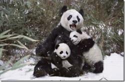 Ibu Anak Panda