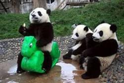 Panda Lucu Imut
