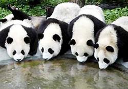 Panda Minum