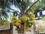 gambar aneh kelapa buah pisang