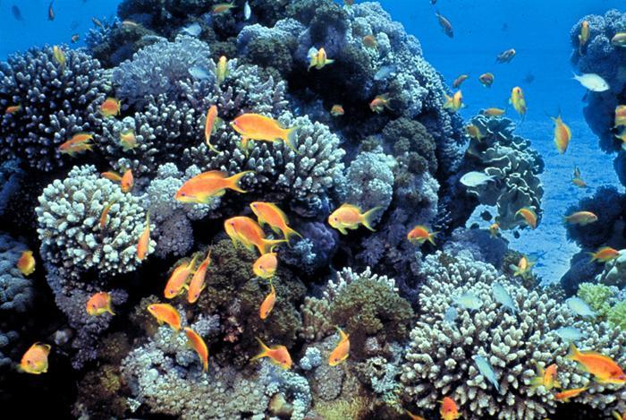 gambar-terumbu-karang-coral-reef