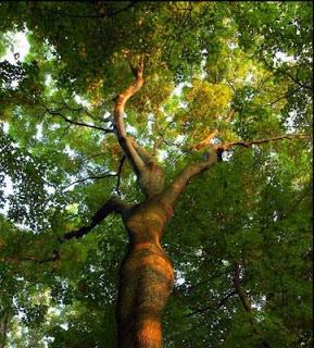 6 Bentuk Pohon Terunik dan Teraneh yang Menghebohkan Dunia 3