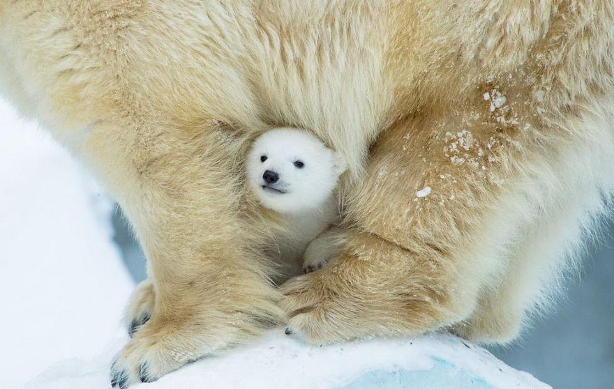 Lucunya Anak Beruang Kutub Ini Saat Bermain!