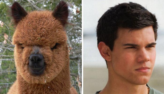Taylor Lautner vs Alpaca
