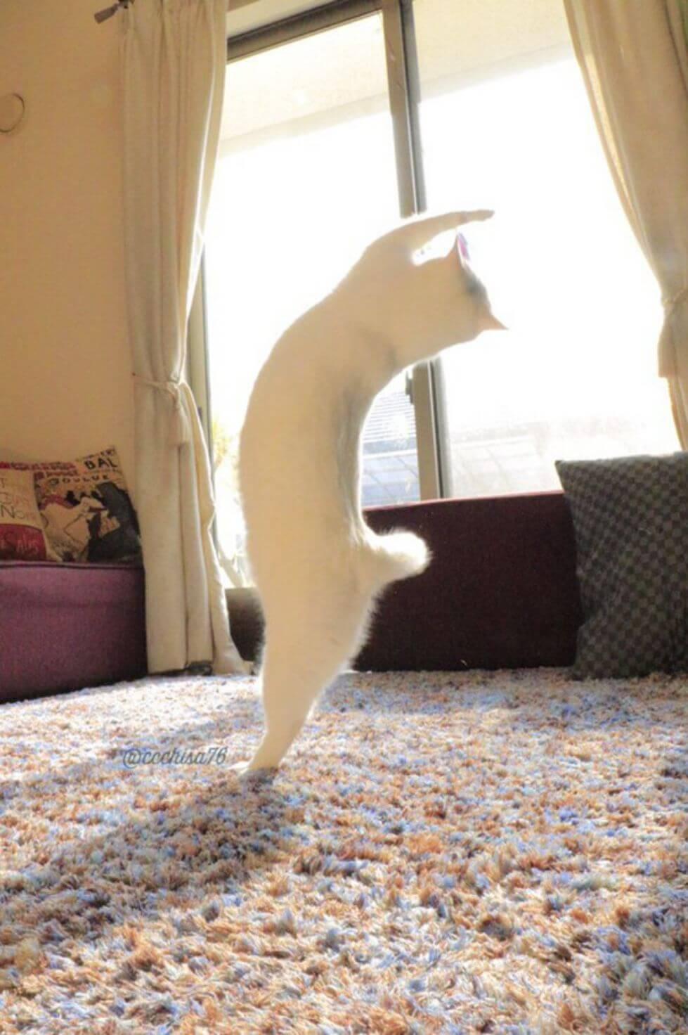Lucunya Kucing Ini Saat Menari Balet!