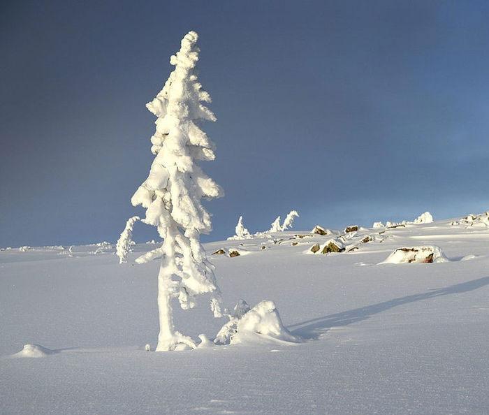 Ini Dia Pohon Tertua di Bumi, Lihat Yuk!