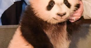 panda lucu 2