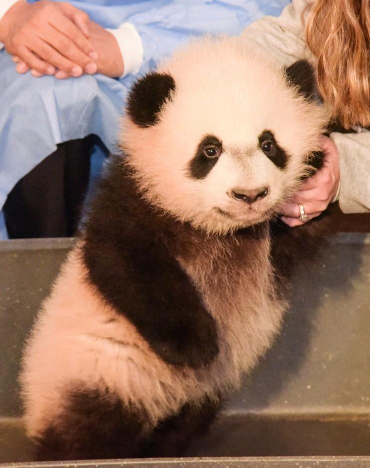 Bei Bei Si Panda Lucu Yang Suka Selfie Gambargambar Co