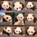 Bei Bei Si Panda Lucu Yang Suka Selfie